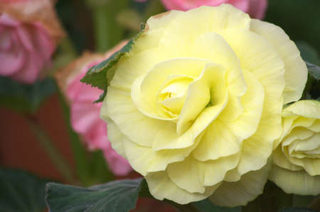 white and yellow begonia photo