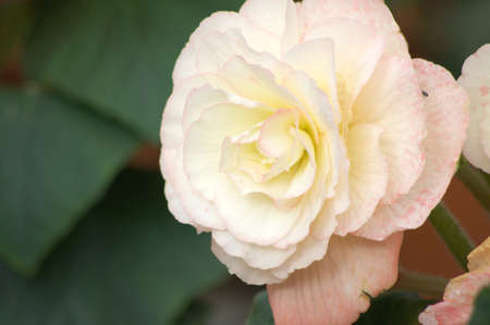 white and pink begonia photo