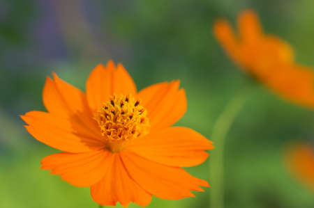 vivid orange cosmos photo