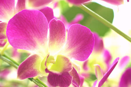 large purple orchid photo
