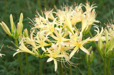 autumn white lycoris photo