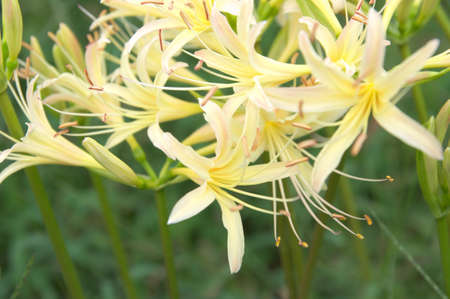autumn white lycoris photo