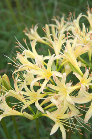 full bloom white lycoris photo