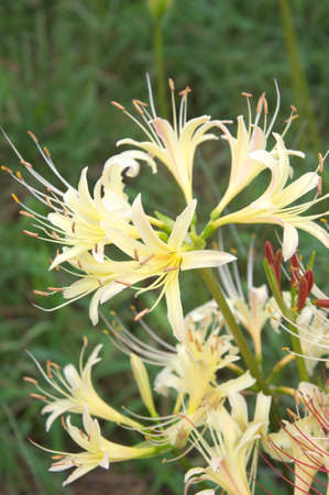 white spider lily photo