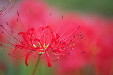 vivid red lycoris photo