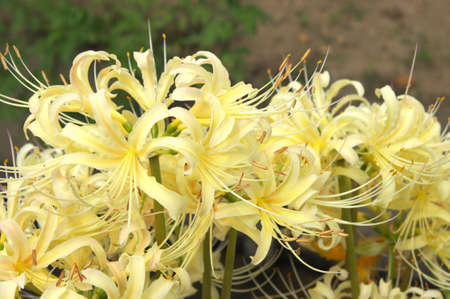 beautiful white lycoris photo