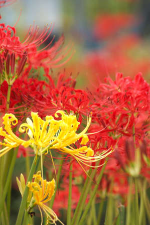 vivid yellow spider lily photo