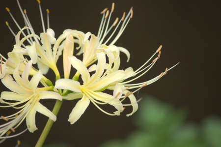 cute white spider lily photo