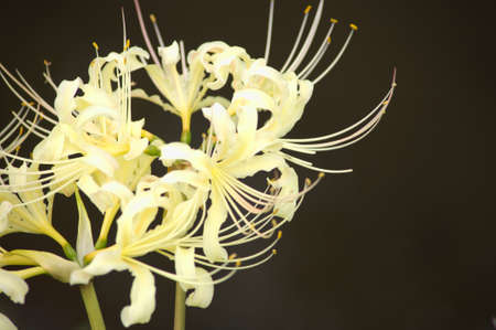 large white spider lily photo
