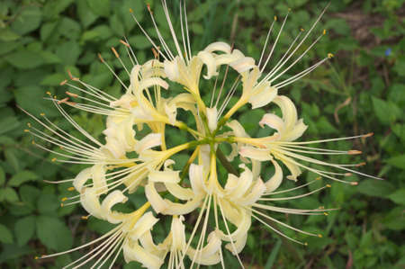 large white lycoris photo