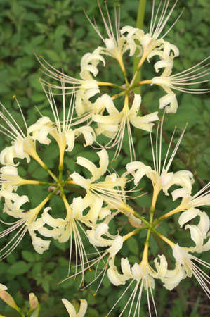 large white lycoris Stock Photo - 15536973