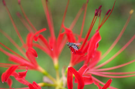 fly on red spider lily photo