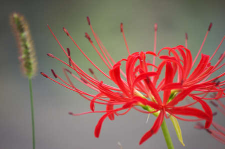 beautiful red lycoris photo