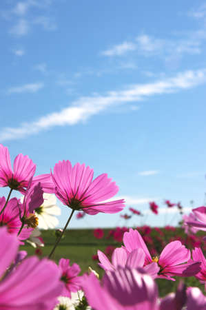 purple cosmos under blue sky photo