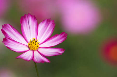 vivid pink and white cosmos Stock Photo - 17416651