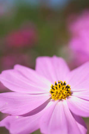 large pink cosmos Stock Photo - 15756525