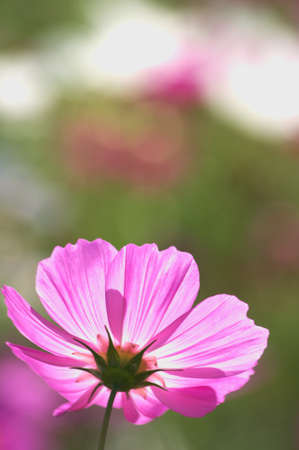 coloful pink cosmos photo