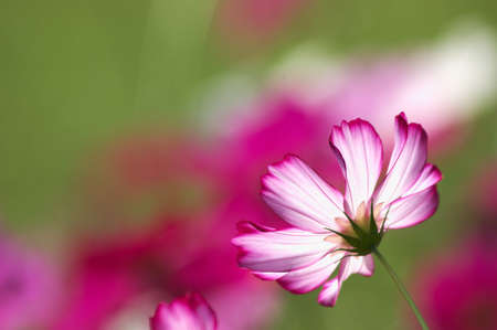 white and pink cosmos photo