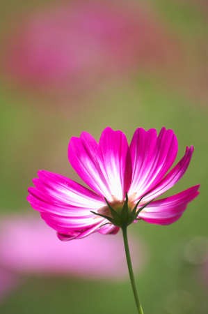cute purple cosmos photo