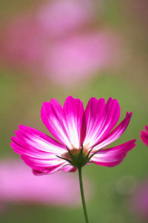 autumn pink cosmos photo