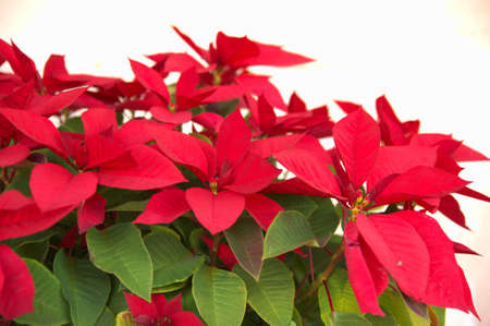 vivid red poinsettia photo