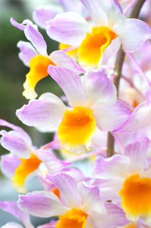 yellow dendrobium photo