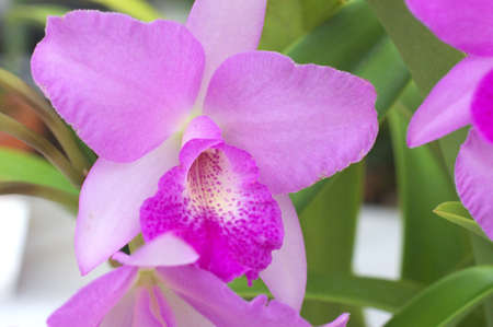 vivid purple cattleya photo