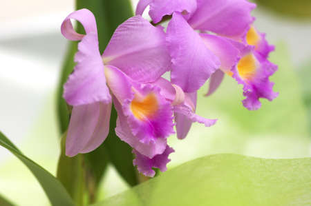 colorful pink and purple cattleya photo