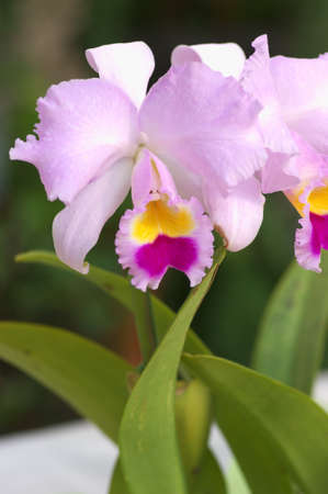 colores rosa y p�rpura cattleya photo