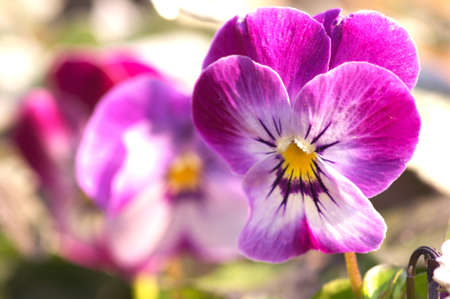 purple and white viola photo