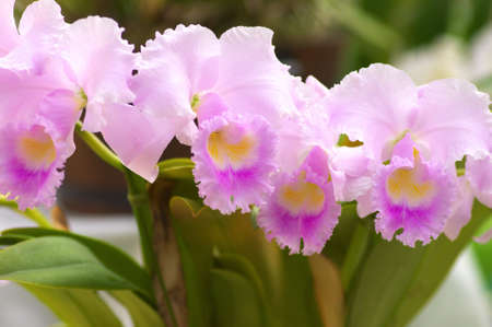 cute pink cattleya photo