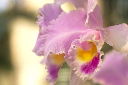 colorful cattleya photo