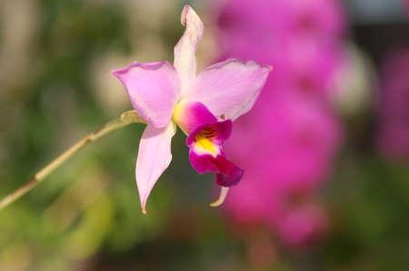 pink cattleya photo