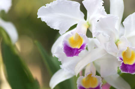 white cattleya photo
