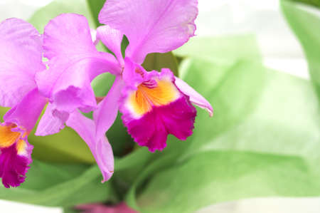large pink cattleya photo