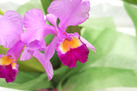 pink and purple cattleya photo