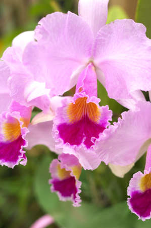 large cattleya photo