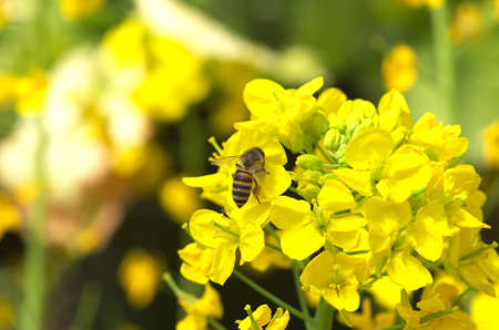 bee and field mustard photo