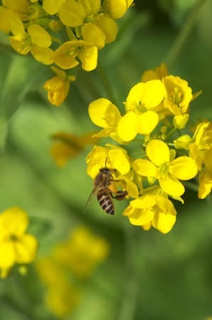 bee on yellow field mustard photo