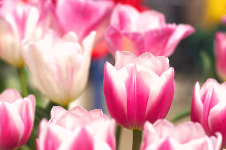 pink and white tulip field photo