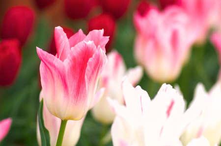 pink and white tulip flower garden photo