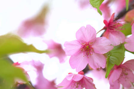 pink cherry blossom viewing Stock Photo - 18595948