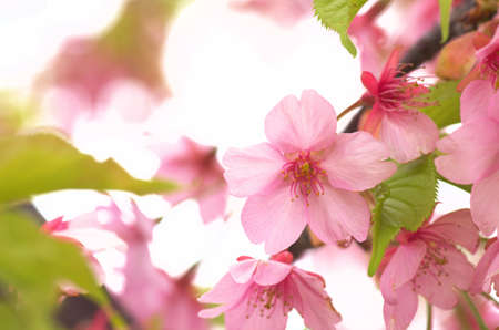 vivid pink cherry tree Stock Photo - 18590996