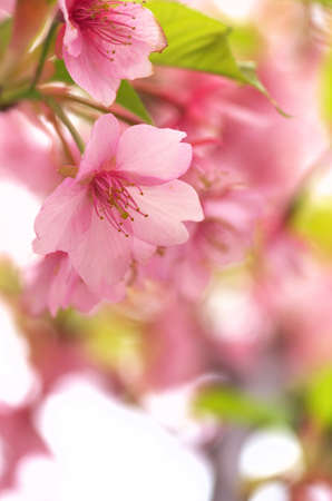 pink cherry blossom viewing Stock Photo - 18595949
