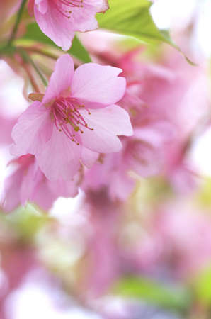 pink cherry blossom Stock Photo - 18690504