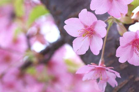 pink cherry blossom Stock Photo - 18690507