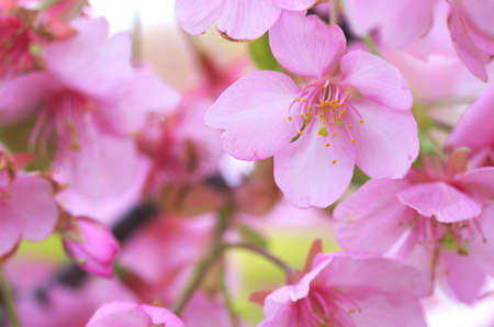 pink cherry blossom Stock Photo - 18690508