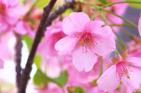 vivid pink cherry tree photo