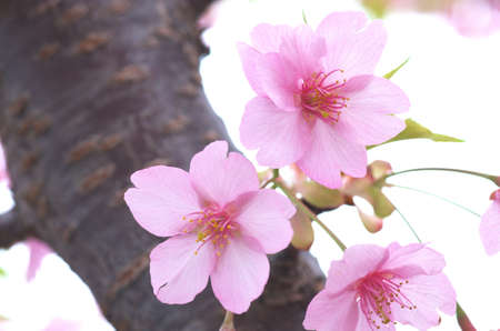 pink cherry blossom Stock Photo - 18690505