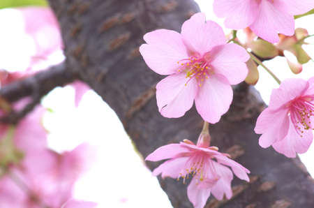 pink cherry blossom viewing Stock Photo - 18595950